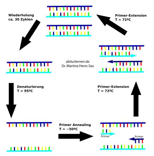 Ablauf der PCR - Phasen der PCR